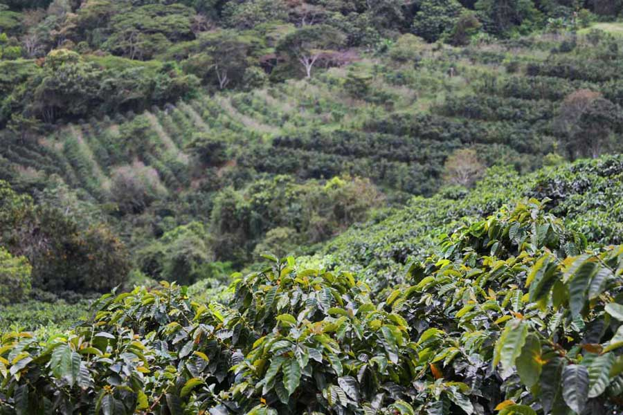 Coffee fields can be seen across the mountainside just outside of the village center. The crop supplies the village, and is exported from some small farms.