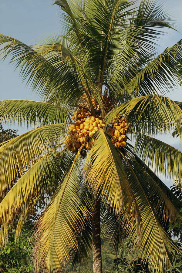 A coconut palm grows in the village of Boruca. Coconuts are used in a variety of dishes and beverages.