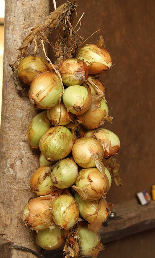 Onions hang against a tree trunk nearby the open fire many Boruca use to cook meat, rice and other dishes.