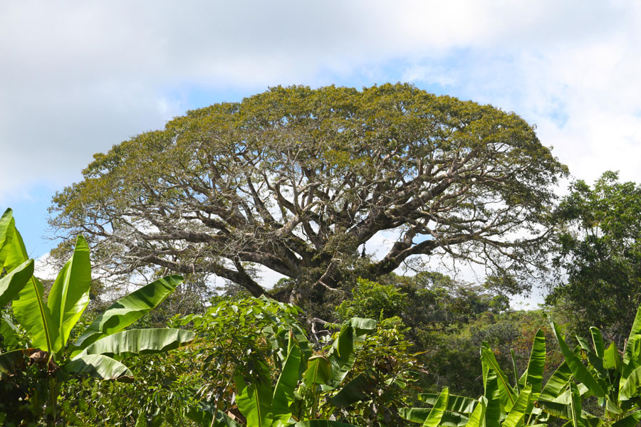 """High atop a mountain outside the village center, a tree known to the Boruca as """"witch tree"""" stands above other vegetation. The intense belief in legends such as this shapes daily life for those young and old."""